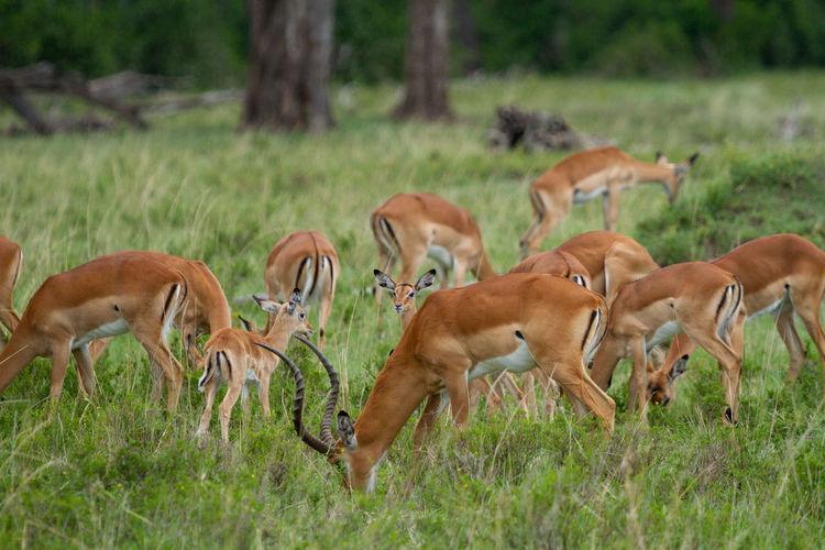 A herd of impalas grazing in a field