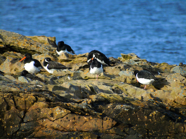 Sleepy Oystercatchers on the rocks Beauty In Nature Bird Bird Photography Birds Birds Of EyeEm  Birds_collection Birdwatching Black Blue Day Eye Em Scotland Nature No People Outdoors Oystercatcher Oystercatchers Rock Rock - Object Rock Formation Scenics Scotland Tranquil Scene Tranquility Uk Water