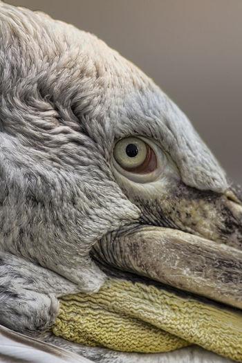 Close-Up Of Dalmatian Pelican