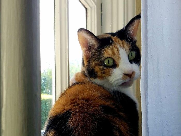 Close-up of calico cat on window behind sheer curtains