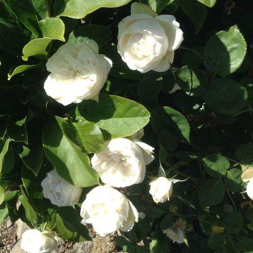 Fair Bianca-David Austin Rose-My All Time Favorite Rose-taken tonight 14may-from my garden-redleft.weebly.com White Fair Bianca Roses