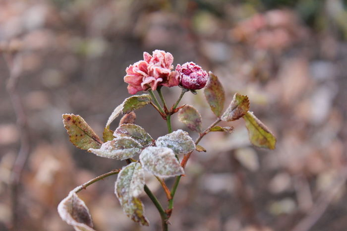 frozen rose moment Beauty In Nature Close-up Flower Fragility Frosted Flowers Frosty Mornings Icy Nature No People Outdoors Plant Winter Wonderland Winterrose Wintertime ⛄ EyeEmNewHere