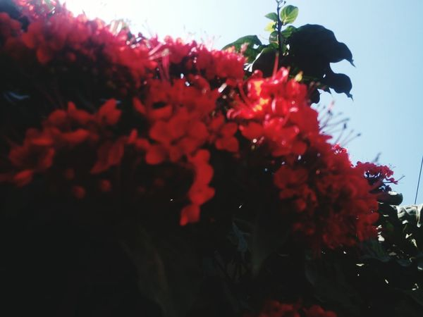 red flowers Red Flowers Sky Floral Flora Garden No Parson Beautiful Flower Colour Your Horizn Floryculture Red Flowers On The Wall Red Flowers Green Leaves Red Flowers Redflowersinwild Red Tree No People Flower Growth Nature Beauty In Nature Close-up UnderSea Freshness Outdoors Fragility Day Flower Head Plant Blooming