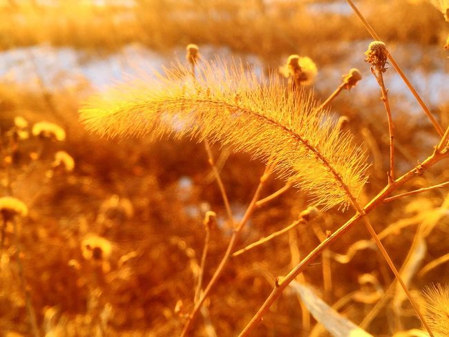 Sunshine / Qianxi, Hebei Nature Close-up No People Growth Outdoors Plant Tranquility Beauty In Nature Day Timothy Grass Fragility BEIJING北京CHINA中国BEAUTY Mobilephotography IPhoneography Iphone6 Hometown Field Winter Beauty In Nature Nature Cold Temperature