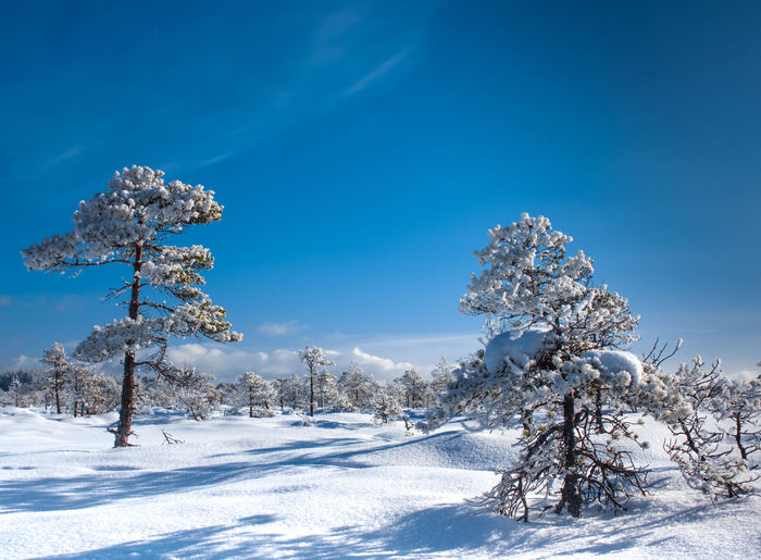 Trees on snow covered landscape against blue sky