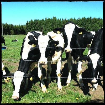 Cows Hipstamatic Hornbecker Blankonoir