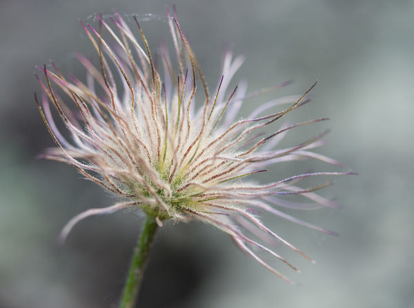 Kuhschelle Beauty In Nature Close-up Dandelion Seed Dry Faded Beauty Fineartphotography Floral Flower Flower Head Flowering Plant Focus On Foreground Fragility Freshness Growth Inflorescence Nature Outdoors Plant Selective Focus Sepal Spiky Tranquility Vulnerability  Wilted Plant