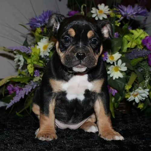 Any good name ideas for this available girl??? ☺???? Oneofakindbulldogs Bulldogs Bulldog Oldeenglishbulldogges oldeenglishbulldogge oldenglishbulldogs oldenglishbulldog premierbreeder oeb oebpuppies puppiesforsale cute adorable igbulldogs bulldogsofinstagram dogsofinstagram insta_dog bullylife keepitbully staybully SoCal californiadreamin SanDiego SD lovemylife dogoftheday follow4follow bulldogpuppies toocute victorianbulldogs