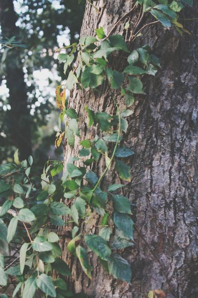 Growth Tree Trunk Tree Nature Plant Day Outdoors Leaf Green Color No People Ivy Beauty In Nature Close-up Perspectives On Nature EyeEmNewHere