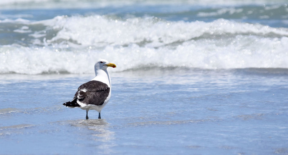 Seagull Beach Beauty In Nature Bird Day Focus On Foreground Motion Nature No People Outdoors Sea Water Wave