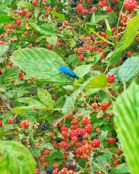 Blue Fly Red Berries Dew Berries Dew Berry Vines Berries On A Branch Fresh Fruit Black Berries Black Berry Vines Ripening Fruit Fresh Berries Wild Fruit Large Group Of Objects Fly Flying Insect Electric Blue Insect Insect Photography Stinging Insect Bright Colors Shiny Insects Shiny Bunch Of Berries Sticker Bush Thorns Nature