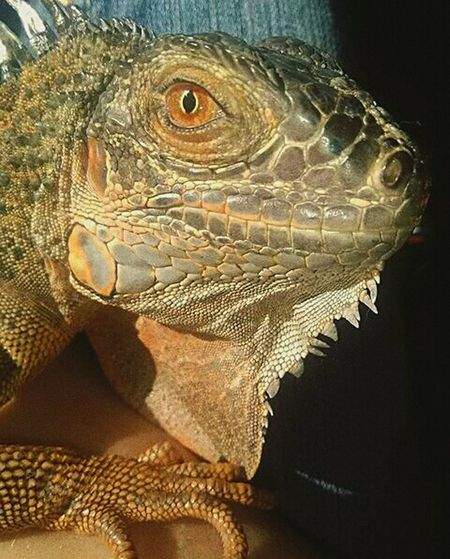Nygma's Stare Reptile Iguana No People Close-up Rediguana Tame Sweetheart First Eyeem Photo