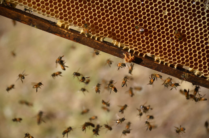 La miel de las abejas / the honey of the bees Animals In The Wild APIculture Beauty In Nature Honey Honey Bee Bee Animal Wildlife No People Bee In Nature Group Of Animals
