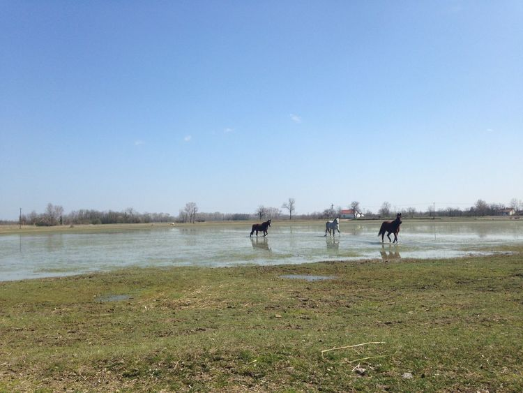 Animal Themes Animals In The Wild Beauty In Nature Blue Clear Sky Copy Space Day Field Grass Horses Horses In Water Lake Landscape Nature Outdoors Scenics Things I Like Tranquil Scene Tranquility Water Wildlife