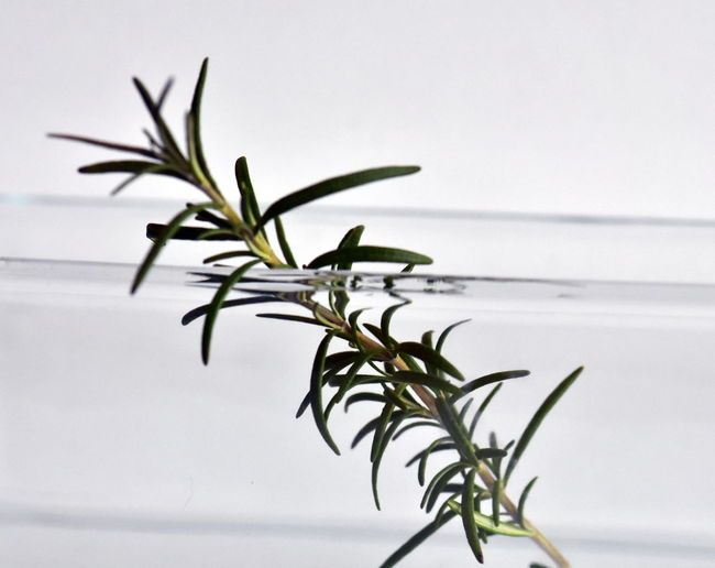 Plant No People Leaf Plant Part Close-up Indoors  Nature Selective Focus Focus On Foreground Growth Day Studio Shot Beauty In Nature Green Color Food Food And Drink Water Fragility Rosemary🌹
