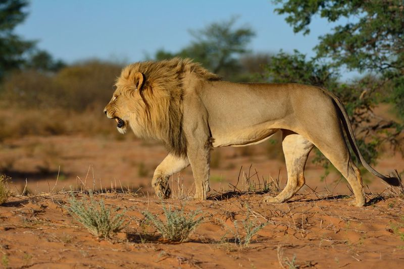 Carnivore Desert Kalahari Kalahari Lion Lion No People, Walking Alone... Wild Wildlife Wildlife Photography