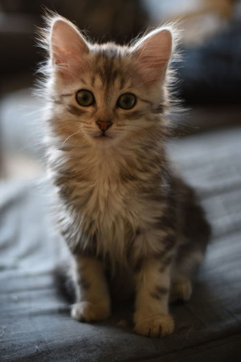 Cute little things are the best. Animal Themes Cat Cute Day Domestic Animals Domestic Cat Feline Indoors  Kitties Kitty Looking At Camera Maine Coon Cat Mammal No People One Animal Persian Cat  Pet Pets Pets Corner Portrait Whisker Pet Portraits