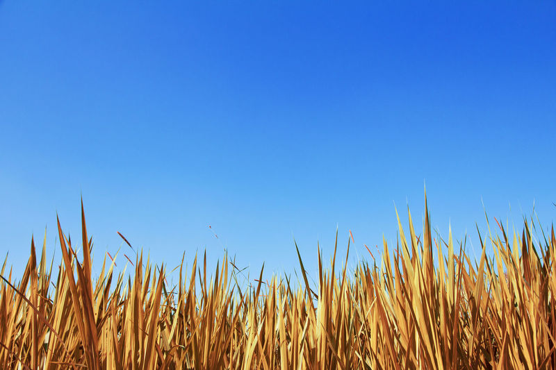 Close-Up Of Plants On Field Against Clear Blue Sky