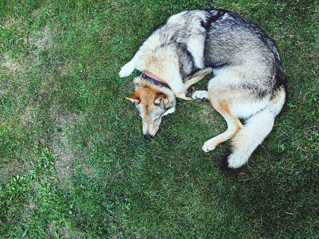 My wolfdog Nero🐺😊 Sordi Fool Nature On Your Doorstep Doggy Love Dog Ceskoslovenskyvlciak Czechoslovakian Wolfdog Czechoslovakianwolfdog Wolfdog Wolf Doggy Csv Animal Nature Naturelovers Minimal Minimalism