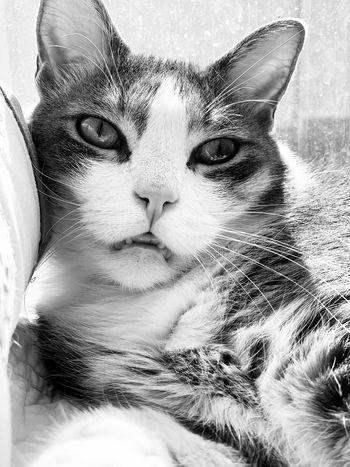 Portrait Cat Mammal Domestic Cat Close-up Feline Pets One Animal Domestic Animals Domestic Vertebrate Whisker Animal Body Part