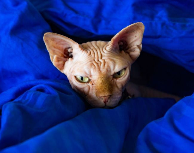 This is my bed now Vibrant Color Cat Occupancy Cat In Bed Pet Portraits Pet Sphynx Cat Sphynx Mammal One Animal Pets Animal Themes Animal Domestic Animals Domestic Feline Close-up Textile Looking At Camera Blue Bed Portrait Relaxation Indoors