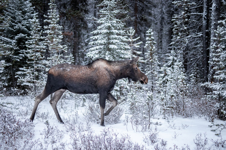 A moose wanders though the first snow of the season in the Rockies. Moose are the largest of the deer family by some margin; they stand up to 2.1 m (6.9 ft) high at the shoulder and the males can weigh up to 700kg. I have also included a shot of its mother. Jasper National Park, Alberta, Canada Snow Winter Animal Mammal Cold Temperature Animal Wildlife Land Tree One Animal Forest Plant Animals In The Wild Nature Vertebrate Moose Day Beauty In Nature Outdoors Herbivorous WoodLand Snowing Pine Tree Coniferous Tree Winter Alces Alces