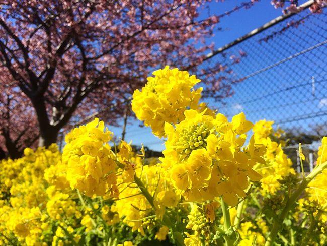 河津桜 桜 菜の花 Cherryblossom Sakura Flower Pink Color Yellow Beauty In Nature Japan Enjoying Life