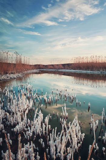 Salted reed vegetation in a little swamp. high level of salt in the pond water makes a white texture
