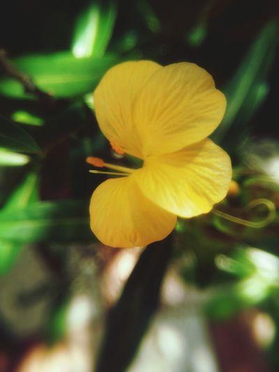 เสลดพังพอน . Flower Yellow Beauty In Nature Fragility Nature Petal Plant Freshness Close-up Flower Head Growth No People Outdoors Day Samutprakarn In Thailand Nature Plant Freshness Beauty In Nature