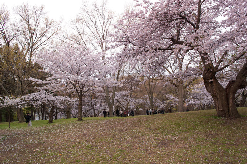View of cherry blossoms in spring