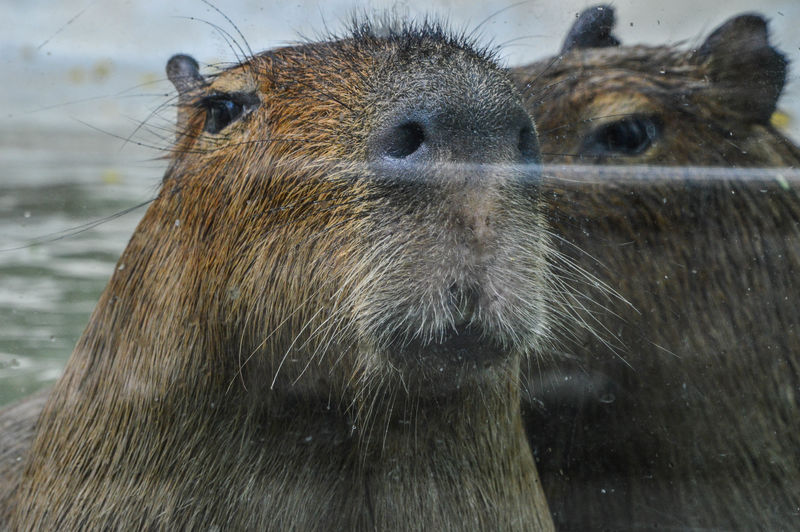 Close-up of capybaras in sea