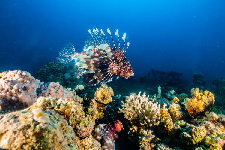 Lion fish in the Red Sea a.e Underwater Animal Wildlife Sea Sea Life Animal UnderSea Animals In The Wild Animal Themes Water Marine Invertebrate Fish Swimming Coral Vertebrate Nature Group Of Animals No People Reef Ecosystem