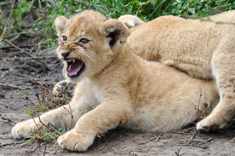 Angry Lions Cubs On Field