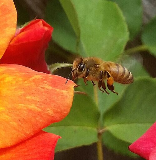 Learning From Nature Spring2016 Californiathroughmylens EyeEm Gallery Learn & Shoot: Balancing Elements Save The Bees Bee And Flower Flowers, Nature And Beauty Simple Photography April2015 Nature At Its Best Learn & Shoot: Simplicity Busy Bee Macroworld Macro Macro Photography Macrophotography Love My Bees I'm happy with this one!