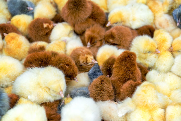 Close-Up Of Baby Chickens