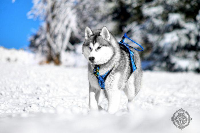 Siberian Husky Husky Snow ❄ Animal Dog Nature Mushing Huskies Mountain First Eyeem Photo