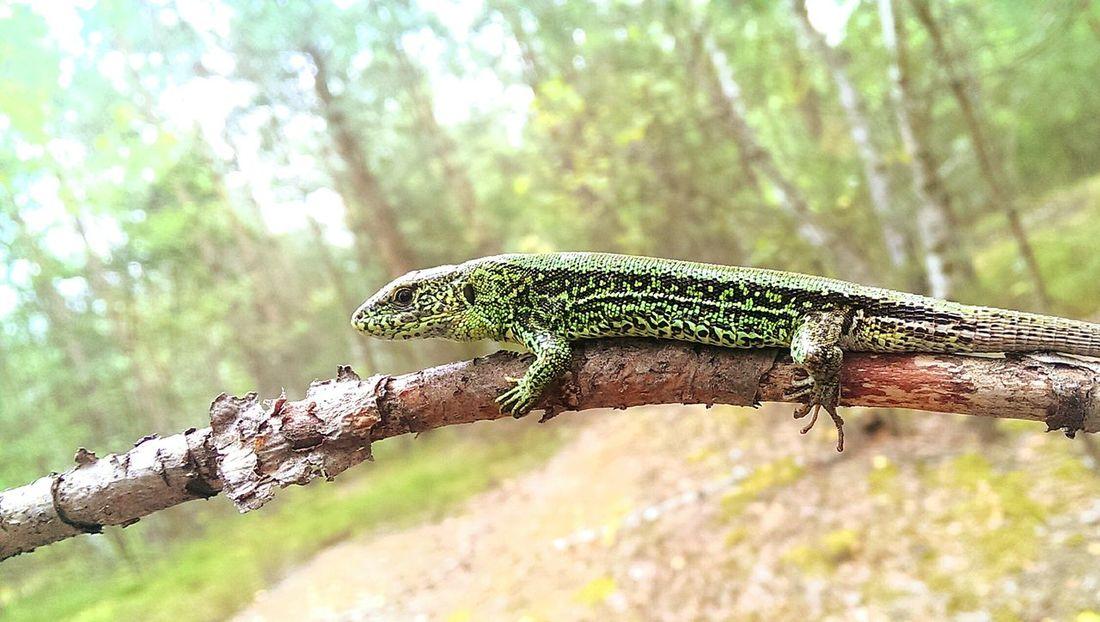 Lizard Nature Green