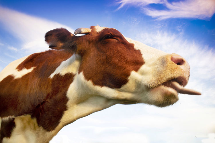View of a cow