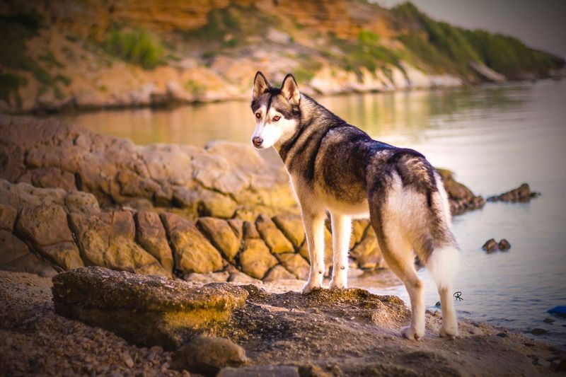Croatian Coast Nature Naturelovers Pet Portraits Dogs Siberian Husky Huskyphotography Husky First Eyeem Photo