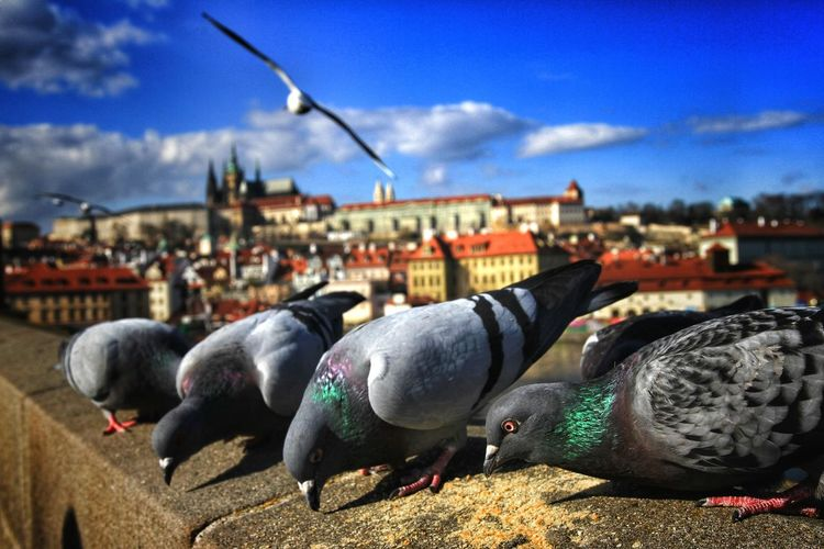 Pigeons in Prague Blue Sky Bokeh Pigeon Dove Bird Close-up City Water Cityscape Blue Harbor Sky Architecture Building Exterior Built Structure Cloud - Sky Old Town Place Of Interest Canon