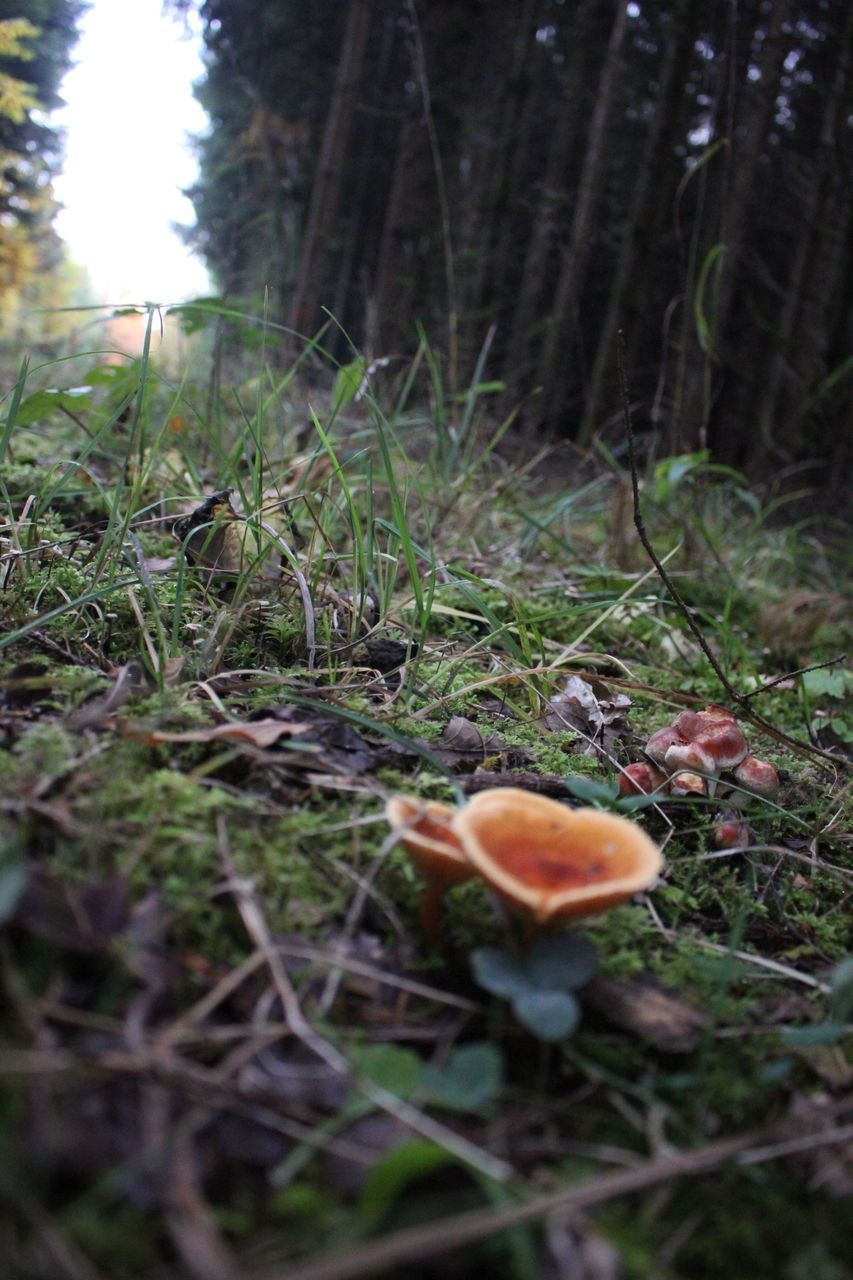 mushroom, fungus, toadstool, nature, growth, beauty in nature, fly agaric, forest, outdoors, wilderness, no people, grass, field, fragility, tranquility, day, close-up, fly agaric mushroom, freshness, tree