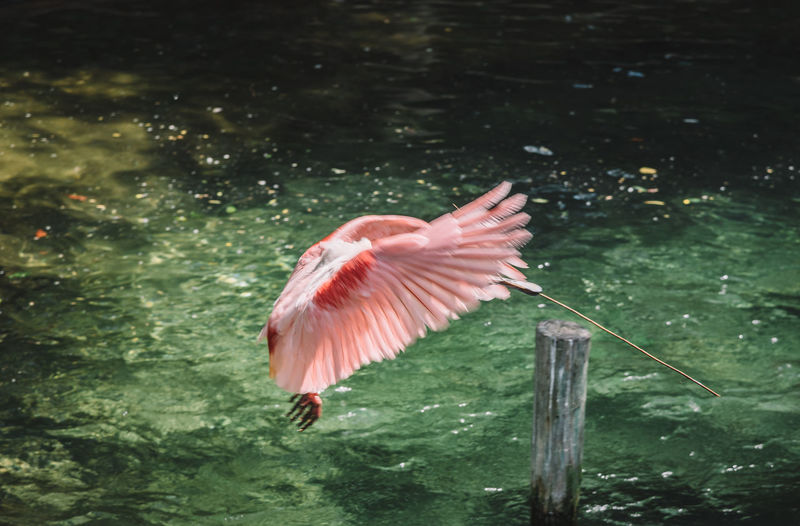 Flamingo Flying Over Water