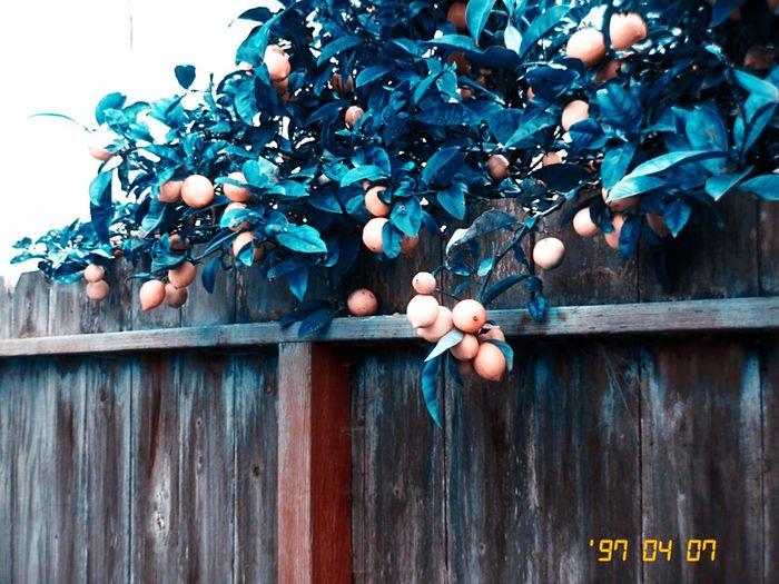 No People Lemons Outdoors Fruit Kissimmee Colorshift Hipstamatic Koduckgirl IPhoneography Mygarden