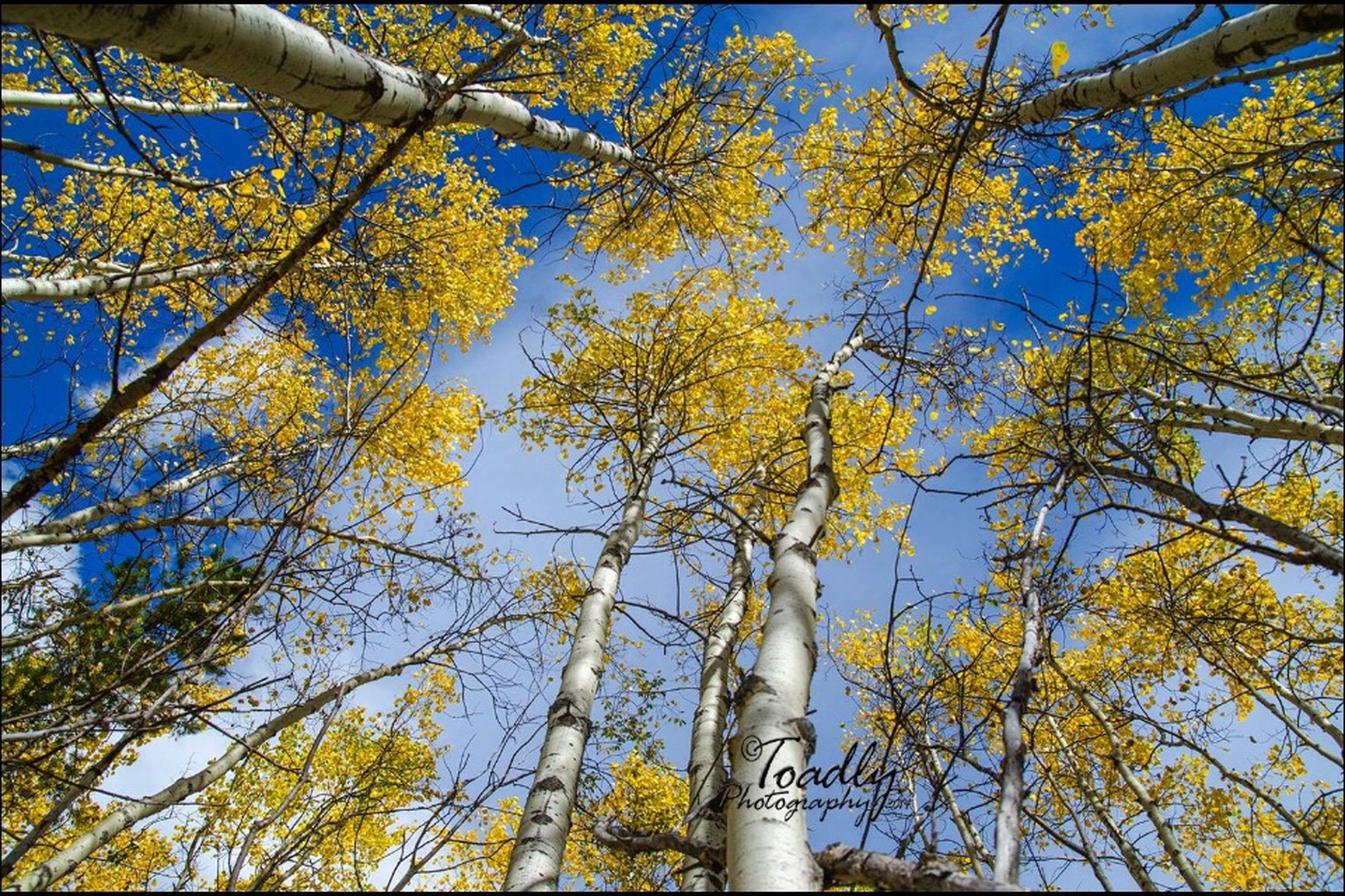 low angle view, tree, branch, growth, yellow, nature, sky, clear sky, blue, autumn, day, tree trunk, beauty in nature, outdoors, no people, sunlight, built structure, leaf, change, tranquility