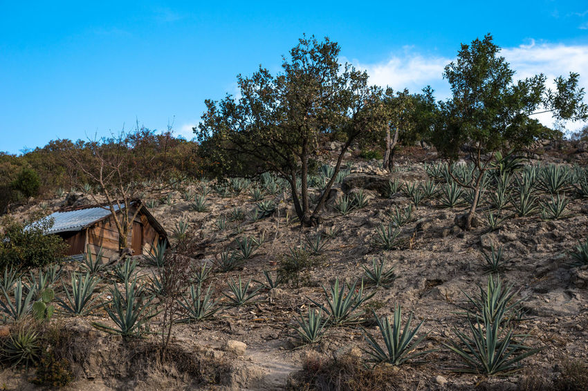 Abandoned Agave Agave Fields Agave Plant Architecture Beauty In Nature Day Forest Growth Landscape Mezcal Nature No People Oaxaca Outdoors Plant Rural Scene Scenics Sky Travel Travel Photography Tree Wilderness Neighborhood Map