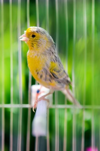 Canary Birds Of EyeEm  Bird Photography Canary Islands Canary Animal Animal Wildlife Animals In The Wild One Animal Perching Focus On Foreground No People Close-up Day Outdoors Yellow Cage Songbird  Selective Focus Beauty In Nature Fence Nature