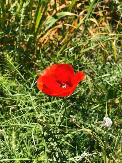 Alone poppy Red