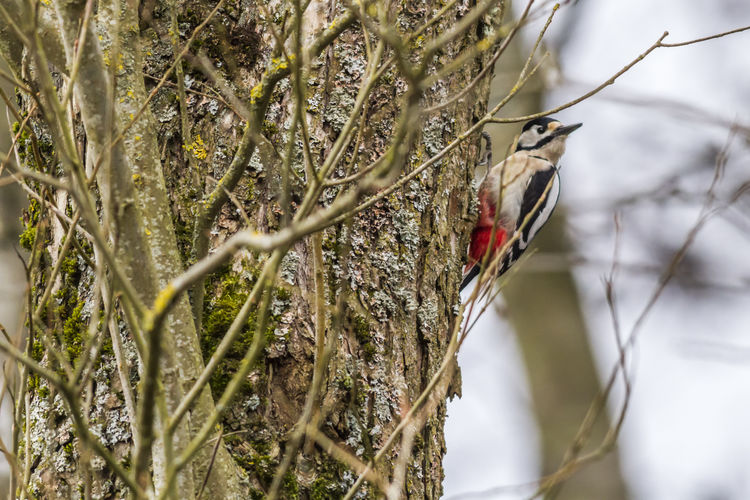 A great woodpecker on a tree Dendrocopos Major Great Woodpecker Tree Wood Animal Animal Themes Animals Animals In The Wild Bird Birds Branch Branchlet Close-up Day Feather  Fodder Landscape Nature No People Outdoors Outdoors Photograpghy  Perching Plumage Tree Woodpeckers