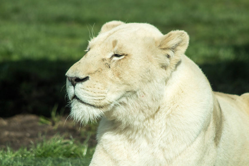 Animal Themes Animal Wildlife Close-up Day Lion - Feline Lioness No People One Animal Outdoors