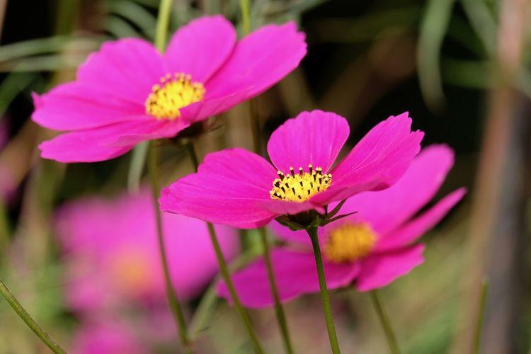 Close-up of pink lotus